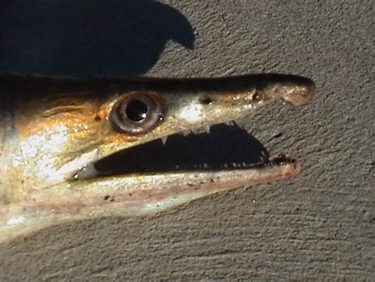 Head of a Common Pike Eel caught at Lake Curalo
