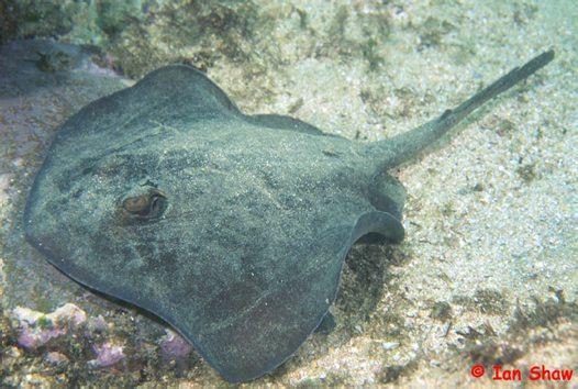 A Common Stingaree at South West Solitary Island