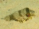 Common Toadfish partially buried in sand