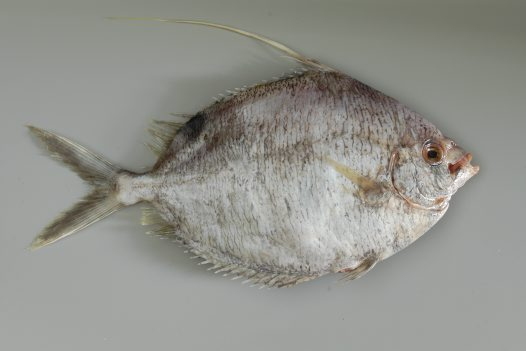 A Common Veilfin purchased at Paddy's Market