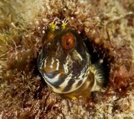 Horned Blenny at Bowen