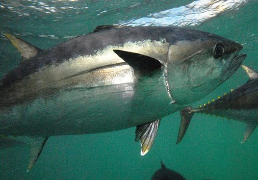 Southern Bluefin Tuna in Boston Bay