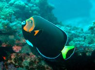 A Conspicuous Angelfish at Sugarloaf Island