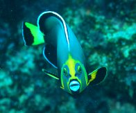 Front view of a Conspicuous Angelfish at Sugaloaf Island