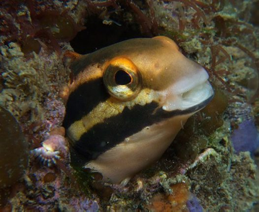 Yellow Sabretooth Blenny, Petroscirtes fallax