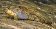 Southern Longfin Goby, Favonigobius lateralis
