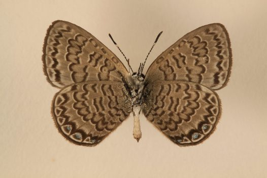 Niue Blue female underside