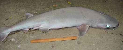 Bigeye Sixgill Shark caught at Lord Howe Island