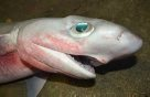 Head of a Bigeye Sixgill Shark
