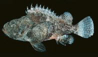 Yellowfin Scorpionfish from India