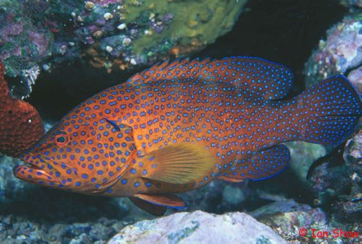 A Coral Cod at North Solitary Island