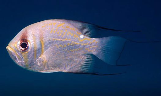 Threadfin Pearl Perch, Glaucosoma magnificum