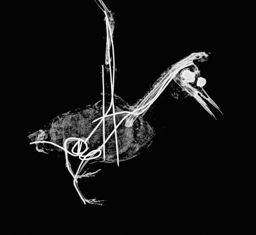 X-ray of a mounted bird specimen.