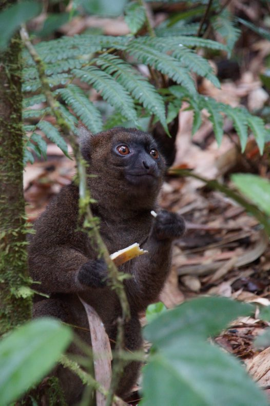 Madagascar 2012 - Greater Bamboo Lemur