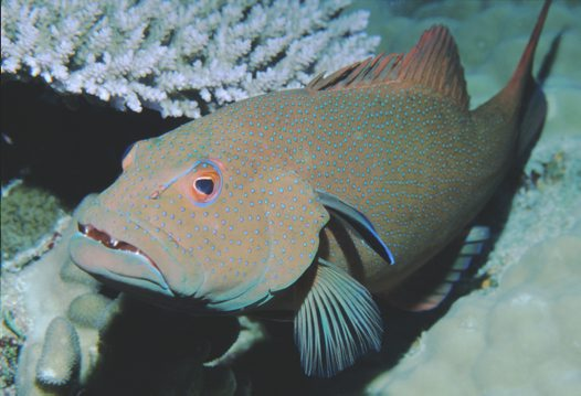 Common Coral Trout at Ribbon Reefs