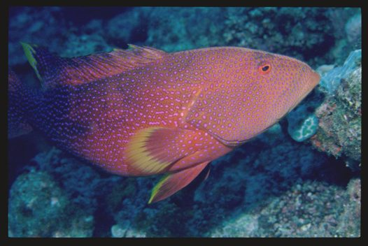 Adult Yellowedge Coronation Trout at Ribbon Reefs