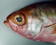 Head of a Cosmopolitan Rubyfish