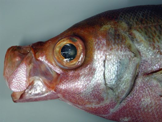 A Cosmopolitan Rubyfish with its mouth open