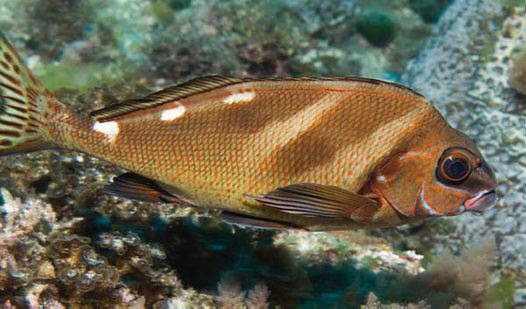 Painted Morwong, Cheilodactylus ephippium