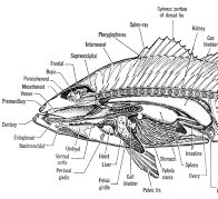 Parts of a fish - internal anatomy of anterior region