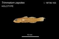 Hard-drinking Atomgoby, Trimmatom zapotes