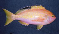 Longfin Perch, Caprodon longimanus - male