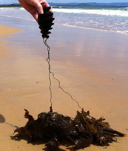 Crested Hornshark egg case