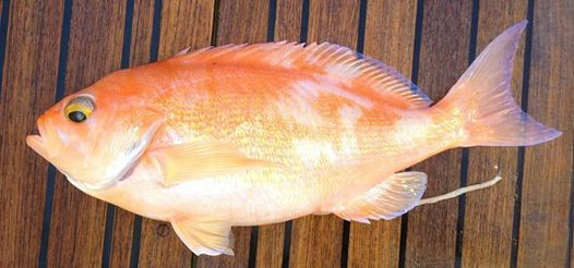 Longfin Perch caught off Coffs Harbour