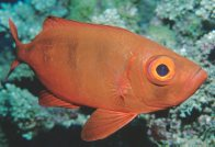 Lunartail Bigeye at Agincourt Reef