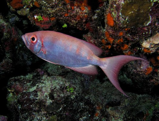Lunartail Bigeye at Osprey Reef