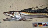 Longnose Lancetfish - head