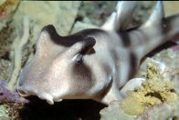 A Crested Horn Shark at Macquarie Lighthouse