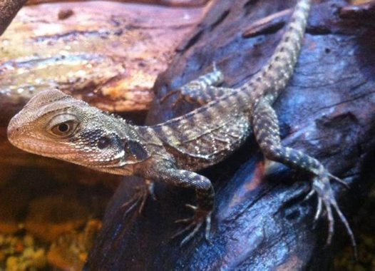 Young Eastern Water Dragon