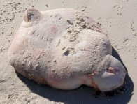 Coffin Ray on the beach at Greenpatch