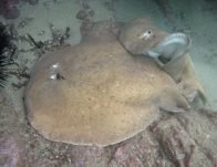 Mating Coffin Rays