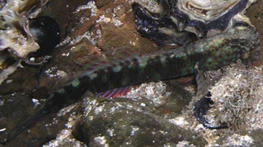 A Crested Oyster Goby near Minnamurra River mouth
