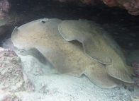 Male and female Coffin Rays