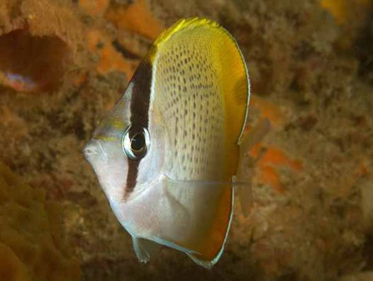 Gunther's Butterflyfish, Chaetodon guentheri