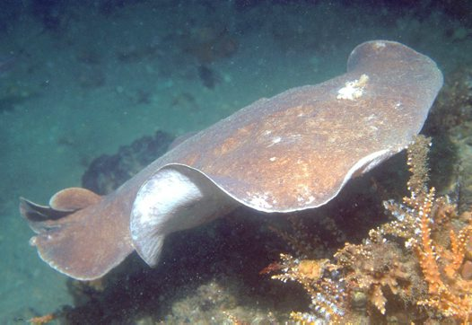 Coffin Ray, Hypnos monopterygius