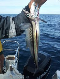 Longnose Lancetfish caught off Bermagui