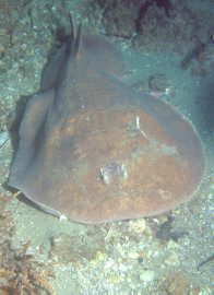 Coffin Ray at Shiprock, Port Hacking