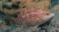 Crimsonband Wrasse (female) at Port Stephens