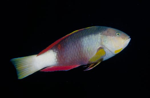 Crimsonband Wrasse at Magic Point, Sydney