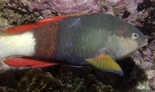 Crimsonband Wrasse (male)