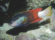 Crimsonband Wrasse at Dee Why Wide Reef
