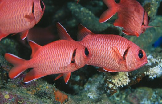 A Crimson Soldierfish at North Solitary Island