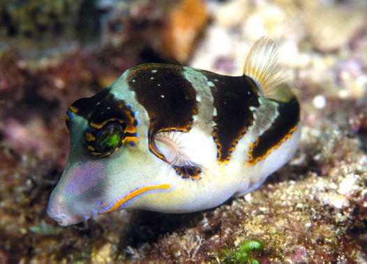 A Crowned Puffer at Flinders Reef