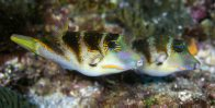 A pair of courting Crowned Puffers at Flinders Reef