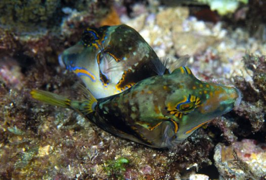 A pair of courting Crowned Puffers