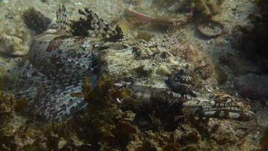 Tasselsnout Flathead at Fairy Bower